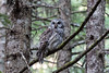 Barred Owl Hunting II