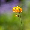 Wild Lily - Manning Park