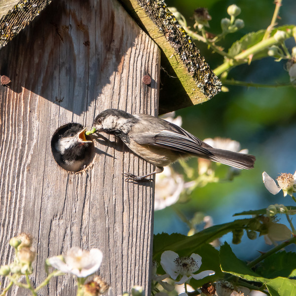 Black-capped Chickadees - Meal Time