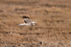 Northern Harrier (F) -  Cruisin' for Lunch