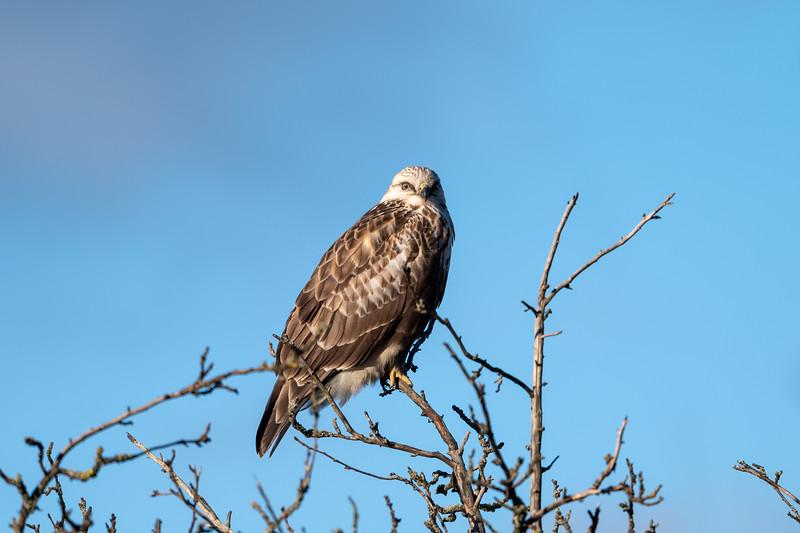 Rough-Legged Hawk (Juvenile?)
