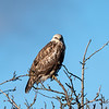 Rough-Legged Hawk (Juvenile?)