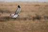 Northern Harrier (Female) - Glide