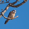 A Kestrel watching for his lunch