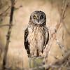 Short-eared Owl (F)