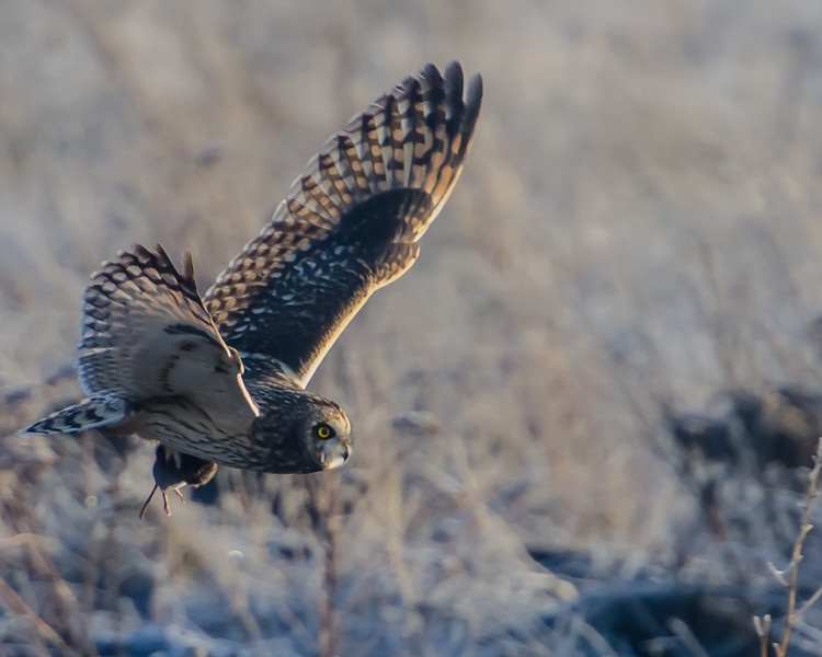 Short-eared Owl and her Breakfast. Surrey, B.C.