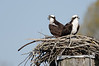 Ospreys. Nesting pair