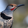 Common (Red-Shafted) Flicker (male)