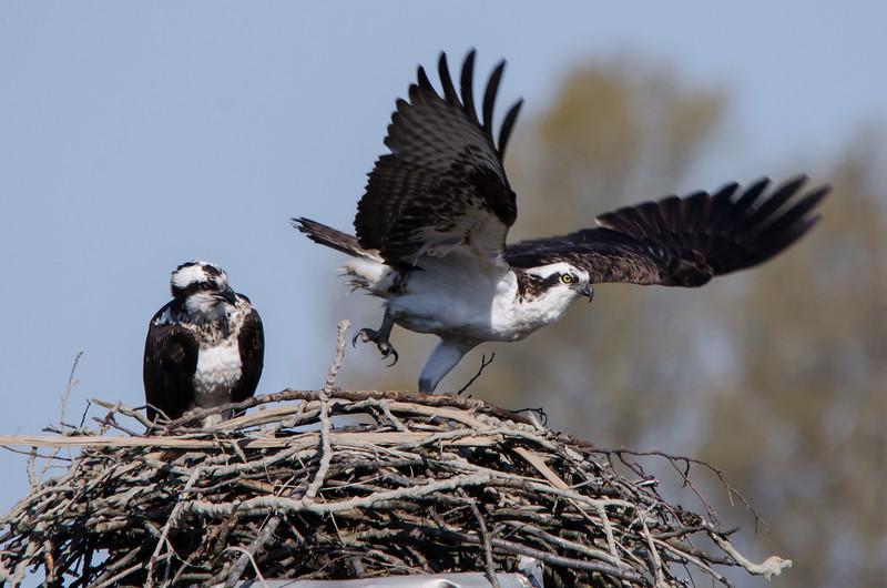 Ospreys. Delta, B.C.