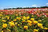 The Flower Fields, Carlsbad