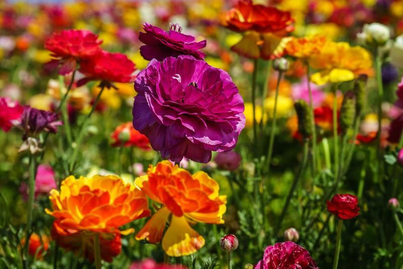 The Flower Fields, Carlsbad