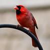 Bold Cardinal