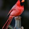 Day 86: Cardinal