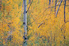 Methow, Winthrop - Colorful leaves and an aspen tree