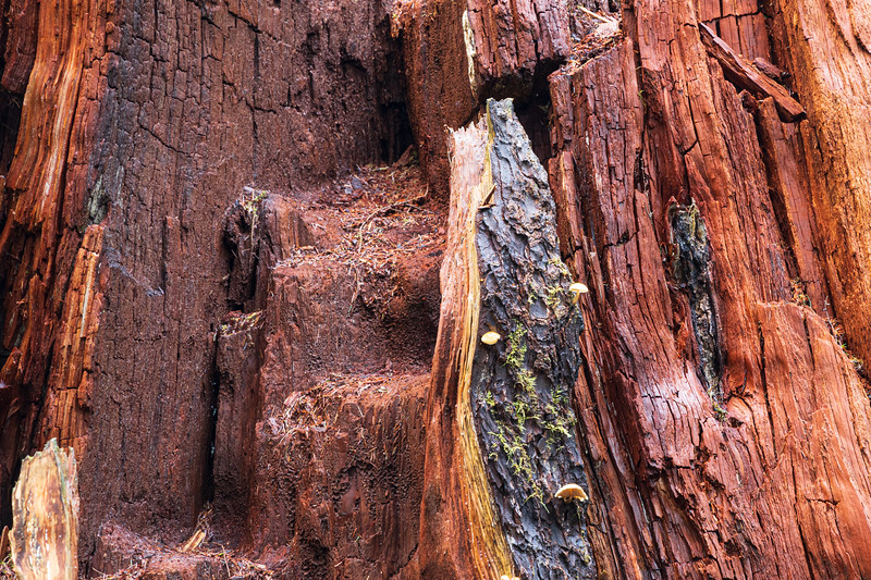 Hoh, Rainforest - Close up of rotted red cedar snag