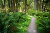 Quinault, Rainforest - Path through green rainforest