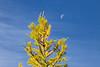 Stuart, Ingalls - Larch tree with moon