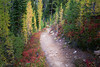 Rainy Pass, Cutthroat Pass - Trail passing through grove of yellow and green larch alongside red huckleberry bushes