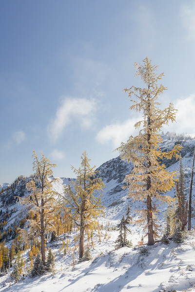 Rainy Pass. Maple Pass - Three larch trees in the snow on a sunny day