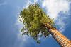 Kittitas, Blewett Pass -  Large ponderosa pine tree reaching for the sky