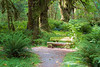 Quinault, Rainforest - Bench on Maple Glade trail