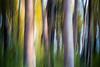 Kittitas, Cle Elum - Two large tree trunks, icm