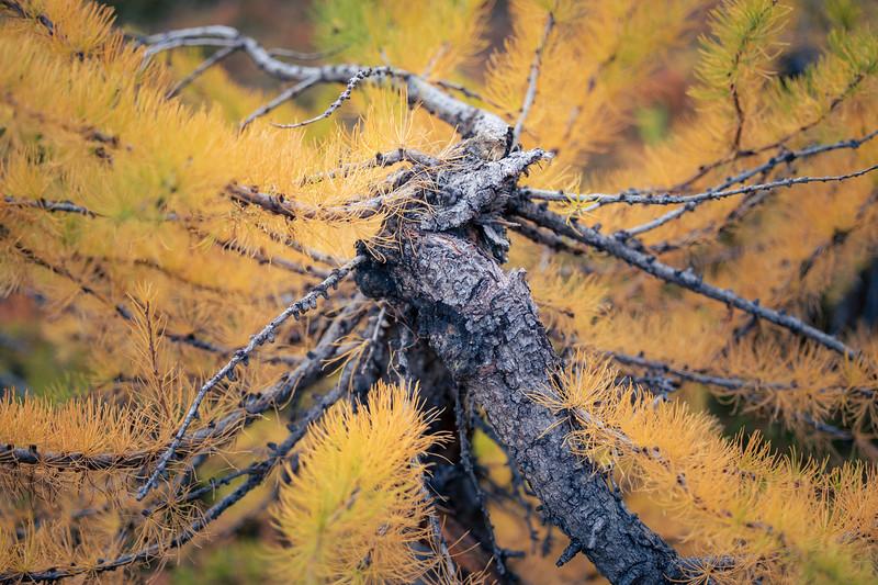 Stuart, Ingalls - Close up of unusual larch tree