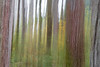 Woodinville, Paradise Valley - Intentional camera movement of tall trees and fall color