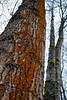 Bothell, Bothell Landing - Red moss on the side of a tall tree
