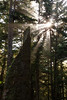 Olympic NP, Ozette Coast - Old stump and sun through the trees