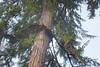 Hoh, Rainforest - Large abnormal epicormic growth on old growth Douglas Fir
