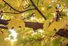 Kittitas, Thorp - Close up of maple tree branch