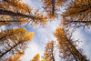 Stuart, Ingalls - Looking up in a stand of small larch trees