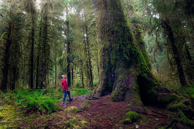 Hoh, Rainforest - Hiker with red jacket looking up at enormous old growth tree in clearing