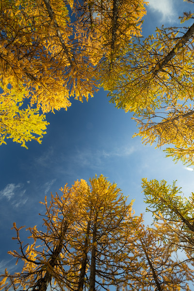 Stuart, Ingalls - Looking up in a stand of tall larch trees