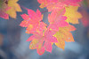 Leavenworth, Tumwater - Pink and yellow maple leaves