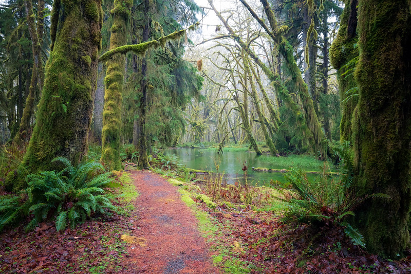 Quinault, Rainforest - Path alongside flooded swamp
