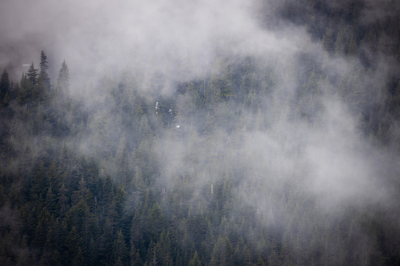 Snoqualmie Pass, Ski Area - Fog above a forest of trees in late spring