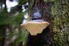 Snohomish, Lord Hill - Large mushroom on the side of large tree