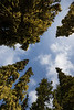 Kittitas, Mt. Baldy - Looking up in forest of moss covered trees