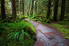 Hoh, Rainforest - Bend in trail past moss covered log and trees