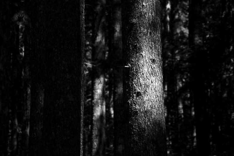 Darrington, White Chuck Bench - Light hitting a tree trunk, black and white