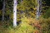 Kittitas, Cle Elum - Small aspen grove with yellow and red