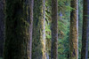 Rainier, Carbon River - Tree trunks of various sizes and distances