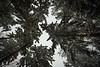 Redmond, Microsoft - Upwards view of forest canopy in the snow