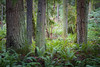 Snohomish, Lord Hill - Clearing in forest with ferns surrounded by several large trees