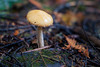 Lake Crescent, Lake - Small yellow mushroom emerging from forest floor