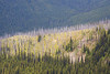 Harts Pass, Tatie Peak - Forest fire burned ridge with healthy forest on both sides