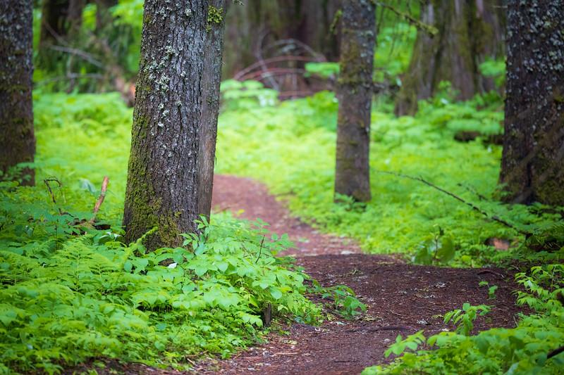 Western, Ross Creek Cedars - Tree stumps alongside trail with green forest floor