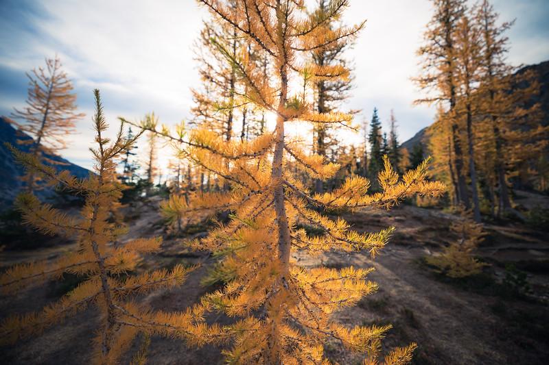 Stuart, Ingalls - Larch tree backlit by sun, wide angle